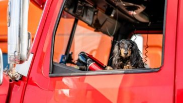 In the window of a professional semi truck a handsome venerable martial spotted Cocker Spaniel dog peeks out